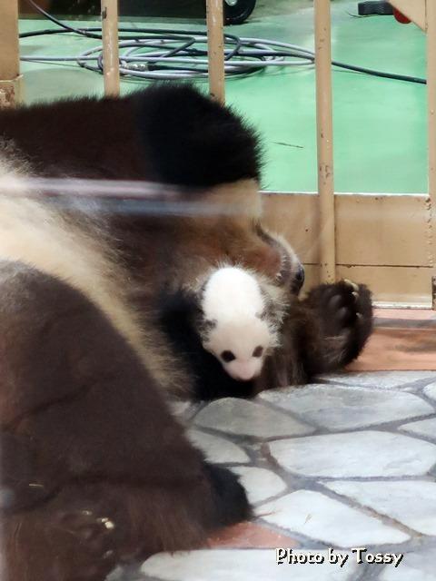 パンダの赤ちゃん4