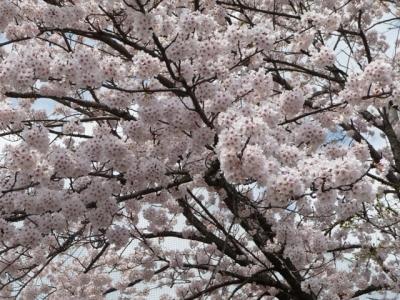 20160420上中桜