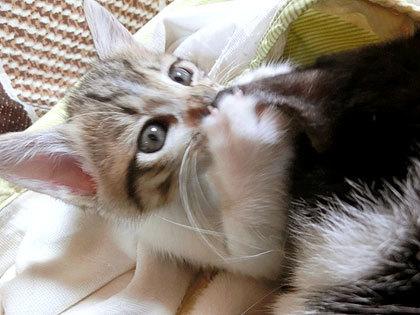 仔猫はなんでお耳ウマウマするのかな?