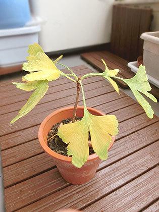 4月下旬から育てているイチョウの木♪