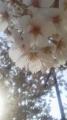 16/4/24桜1