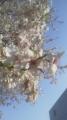 16/4/24桜2
