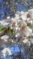 16/4/24桜3