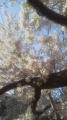 16/4/24桜5