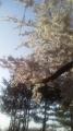 16/4/24桜6
