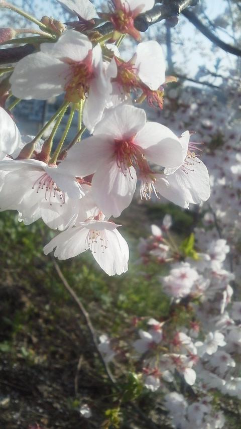 16/4/24桜9