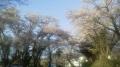 16/4/24桜7