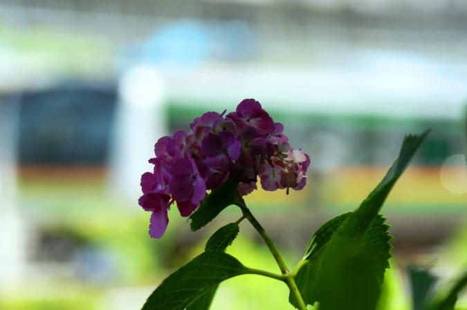 DSC00005紫陽花
