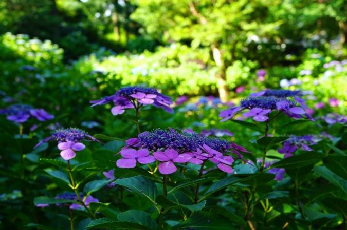 DSC03769紫陽花