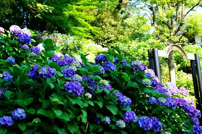 DSC03779紫陽花