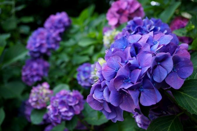 DSC03797紫陽花