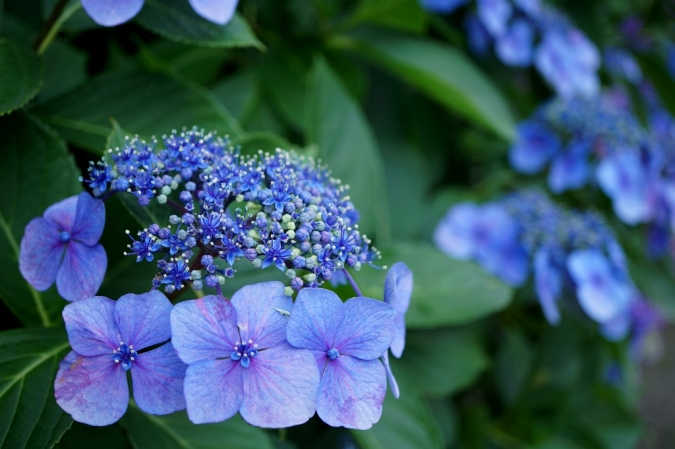 DSC03829紫陽花