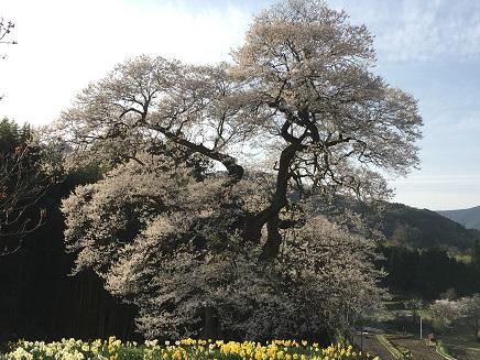 4142016要害桜S5
