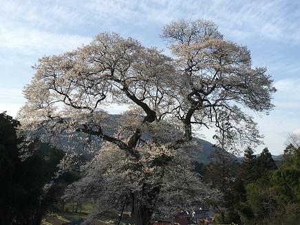 4142016要害桜S6