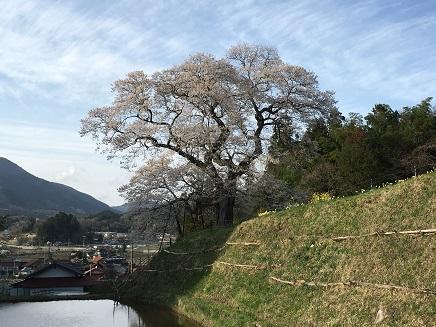 4142016要害桜S7