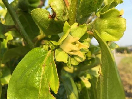 5222016柿の花S