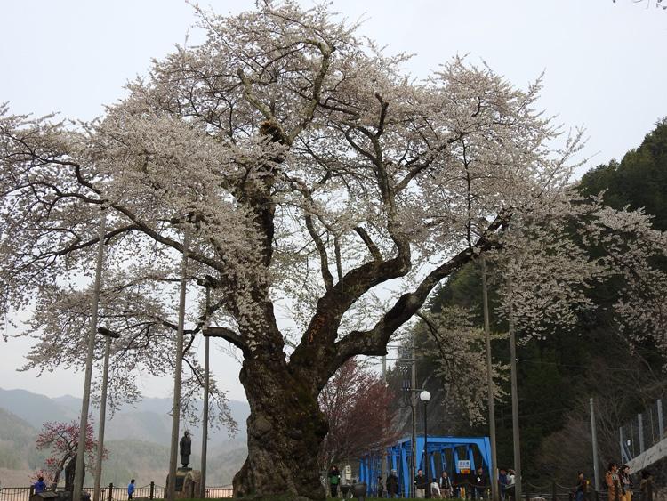 春の遅い白川郷~荘川町(荘川桜)は、例年通りならゴールデンウィークの頃が桜の最盛期ですが今シーズンほぼ100の花が開花 ①