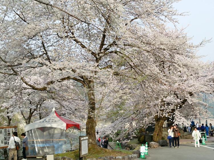 春の遅い白川郷~荘川町(荘川桜)は、例年通りならゴールデンウィークの頃が桜の最盛期ですが今シーズンほぼ100の花が開花 ③