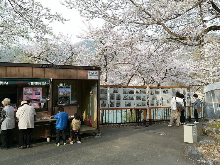 春の遅い白川郷~荘川町(荘川桜)は、例年通りならゴールデンウィークの頃が桜の最盛期ですが今シーズンほぼ100の花が開花 ④
