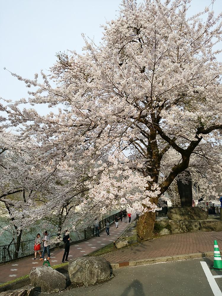 春の遅い白川郷~荘川町(荘川桜)は、例年通りならゴールデンウィークの頃が桜の最盛期ですが今シーズンほぼ100の花が開花 ⑤