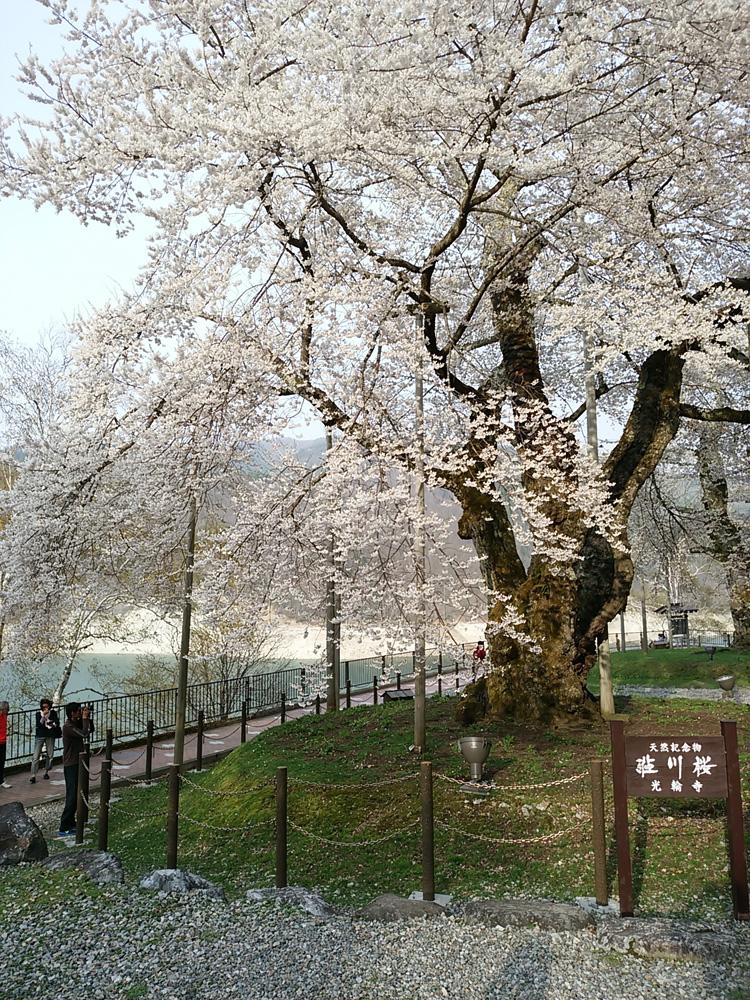 春の遅い白川郷~荘川町(荘川桜)は、例年通りならゴールデンウィークの頃が桜の最盛期ですが今シーズンほぼ100の花が開花 ⑥