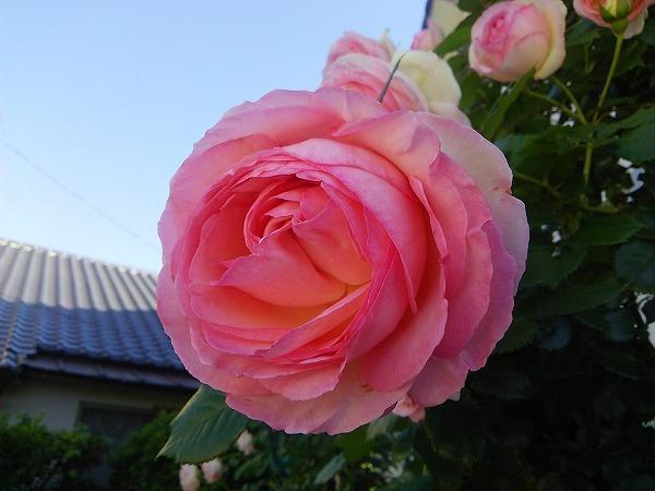 バラの園2