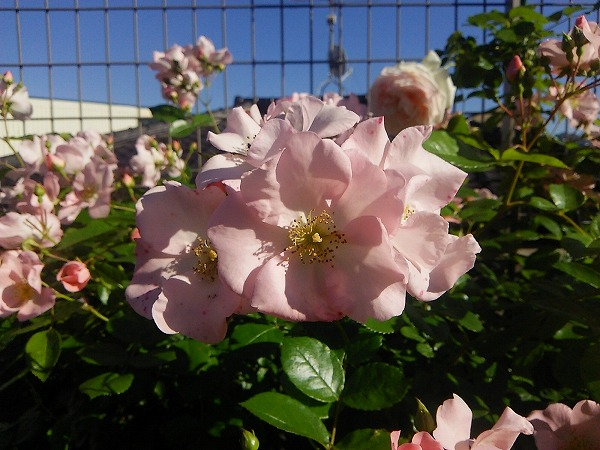 バラの園4