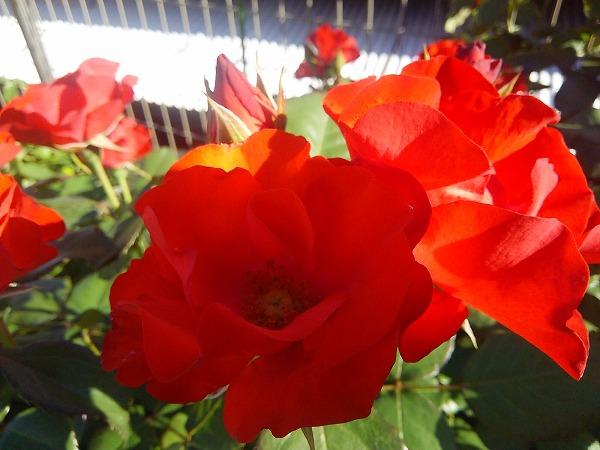バラの園6