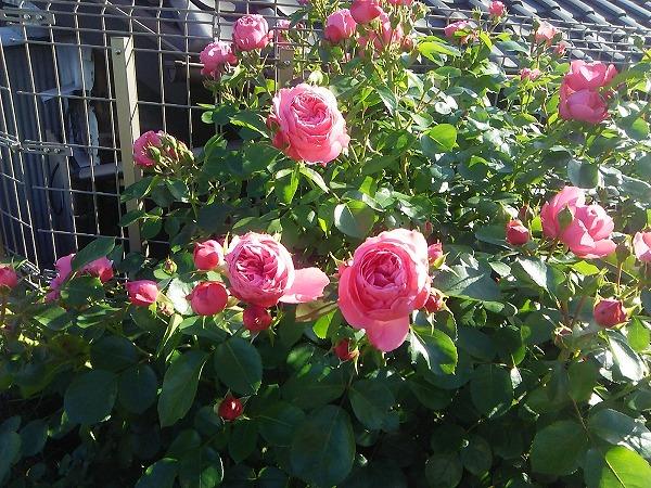 バラの園9