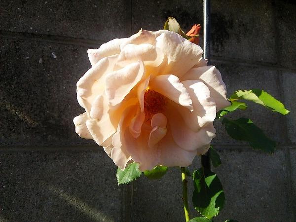 バラの園11