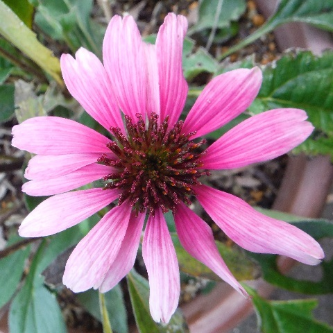 Echinacea_purpurea_Primadonna_Deeprose5-2016.jpg