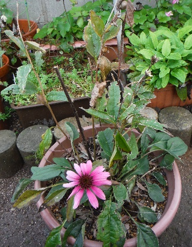 Echinacea_purpurea_Primadonna_Deeprose7-2016.jpg