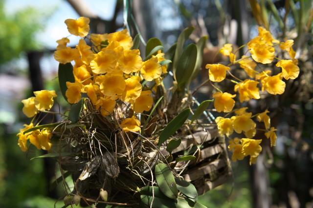 Dendrobium agregatum ' Rin '-02