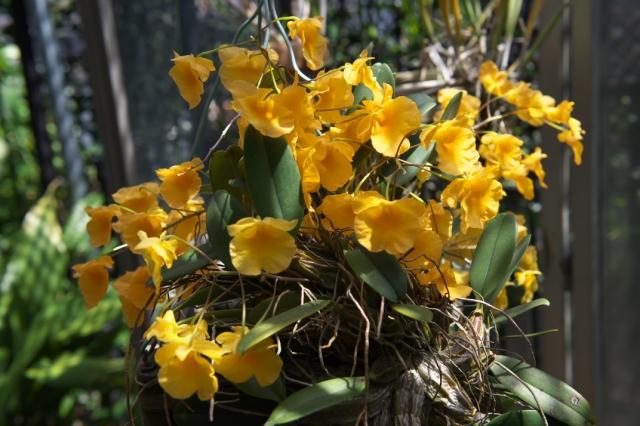 Dendrobium agregatum ' Rin '-01
