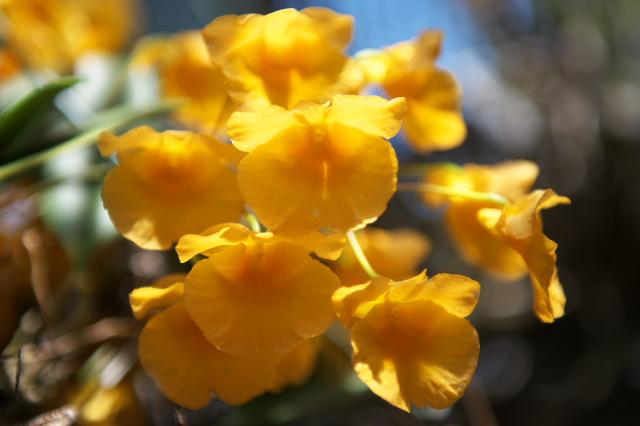 Dendrobium agregatum ' Rin '-03
