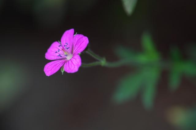 赤花ゲンノショウコ-01