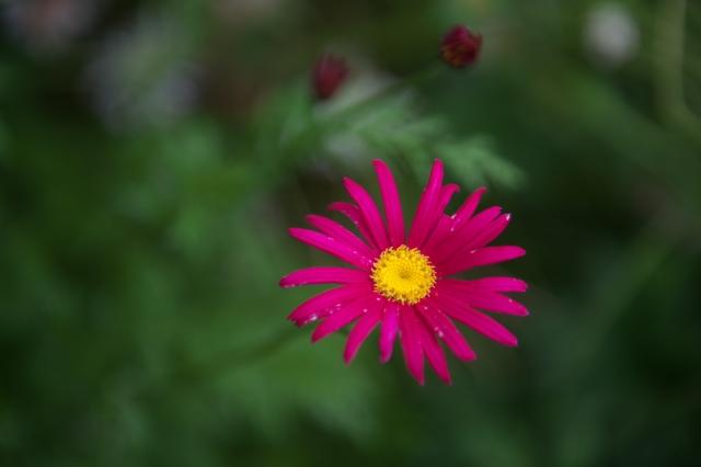 赤花ジョチュウギク