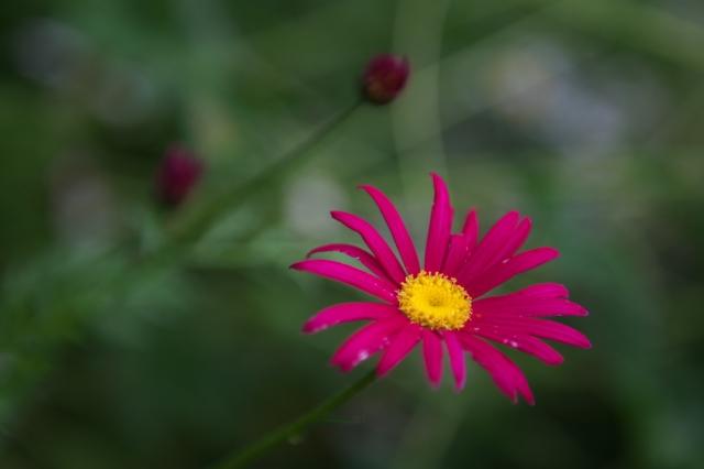 赤花ジョチュウギク-02