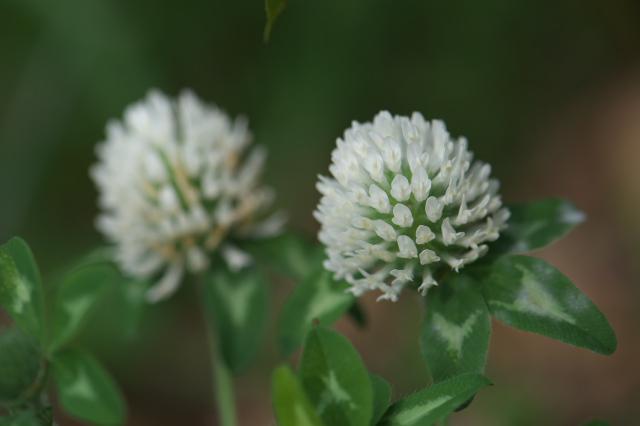 アカツメグサの白花(alba)-02