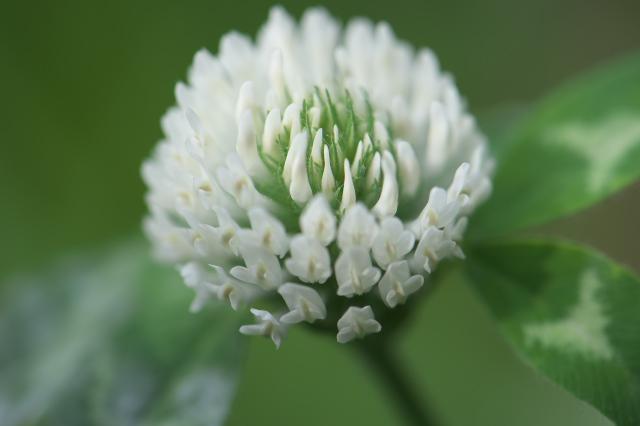 アカツメグサの白花(alba)