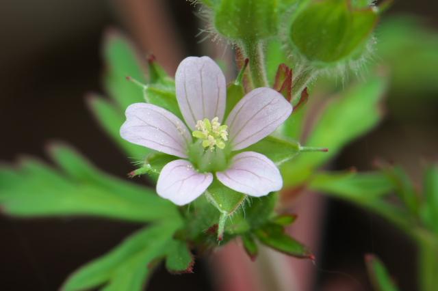 アメリカフウロ(Geranium carolinianum)-01