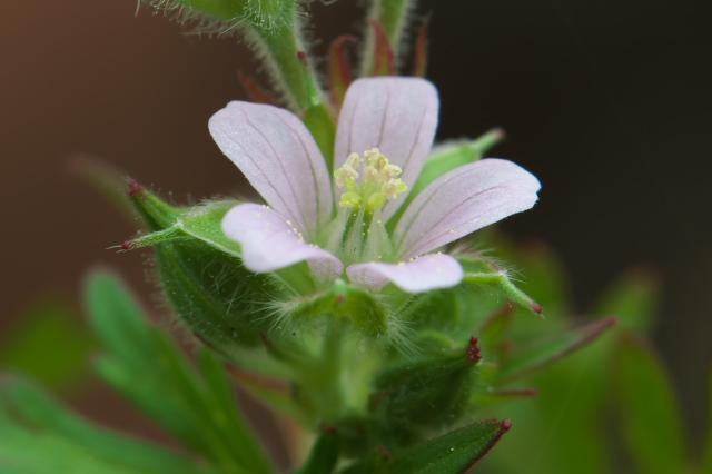 アメリカフウロ(Geranium carolinianum)-02