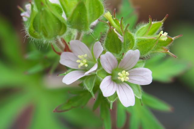 アメリカフウロ(Geranium carolinianum)-03