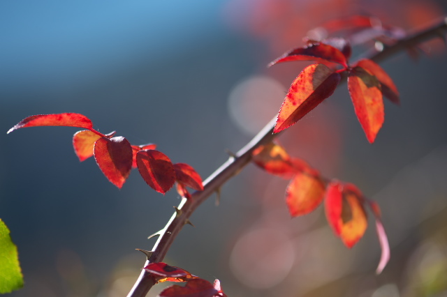 バラの紅葉-03