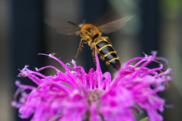 Bee Balm-01
