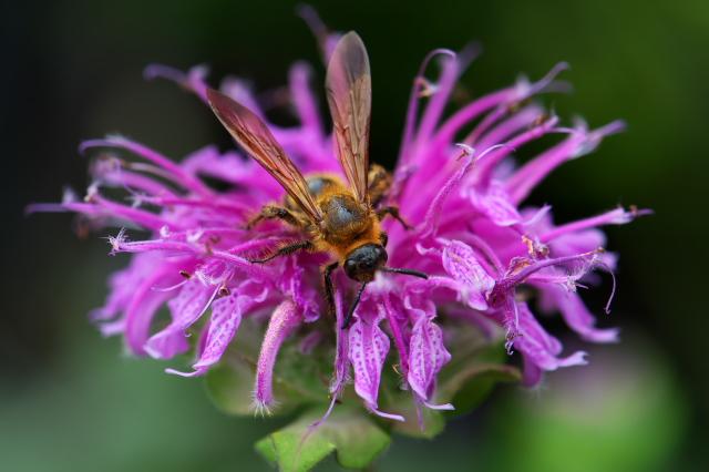 Bee Balm-02