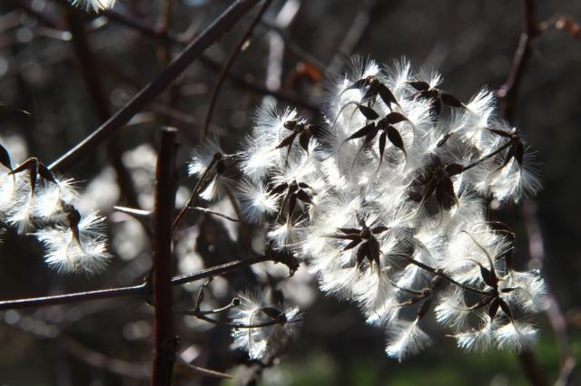 ボタンヅルの、綿毛の美しさ-03