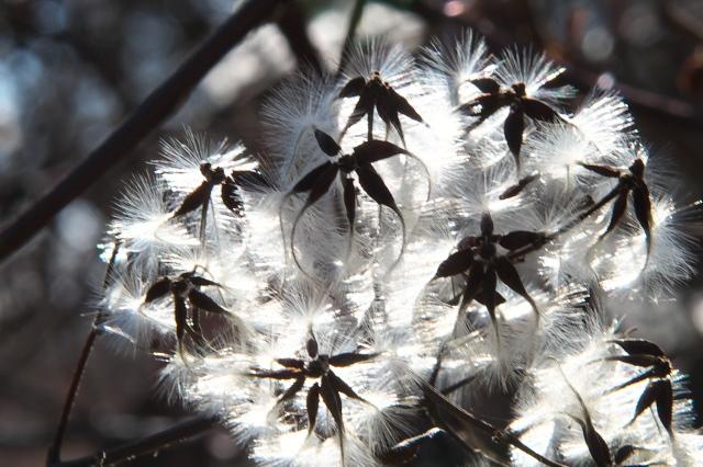 ボタンヅルの、綿毛の美しさ-02