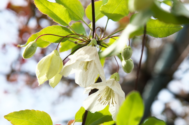 Clematis Cirrhasa Jingle Bells-02