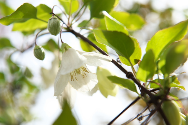 Clematis Cirrhasa Jingle Bells-01